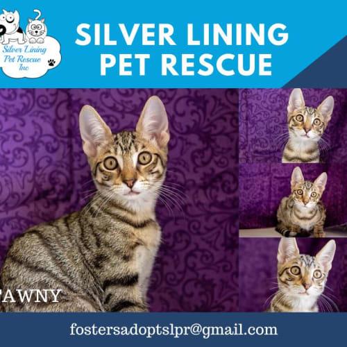 Tawny - Domestic Short Hair Cat