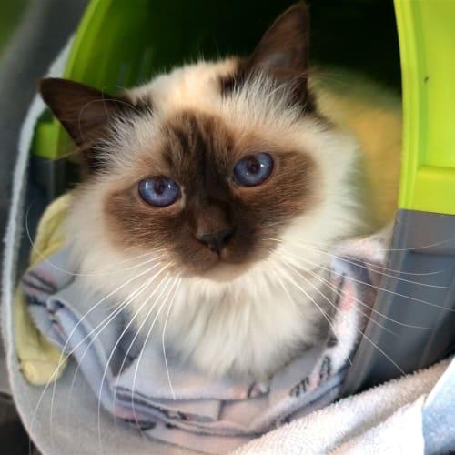 Penny - Birman Cat