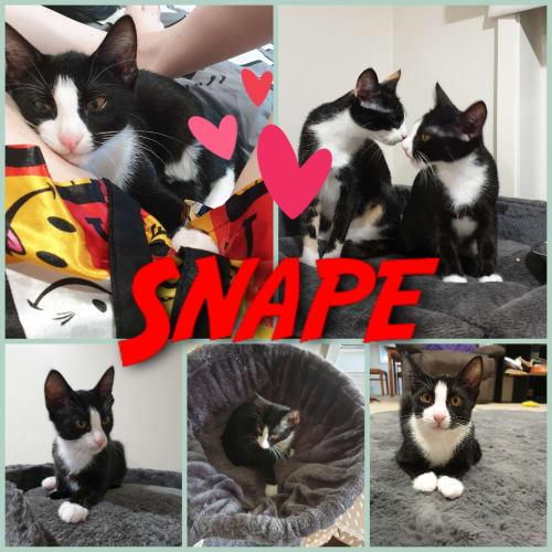 Snape - Domestic Short Hair Cat
