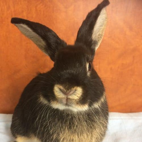 Pingu - Dwarf lop Rabbit