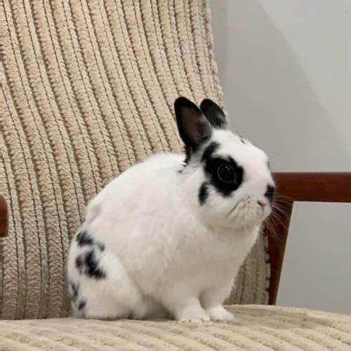 Carlos - Netherland Dwarf Rabbit