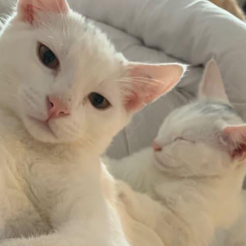 Antonio & Gemma - Domestic Short Hair Cat