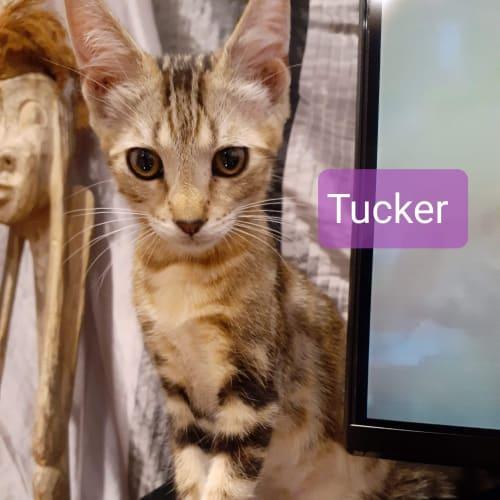 Tucker ❤ - Domestic Short Hair Cat