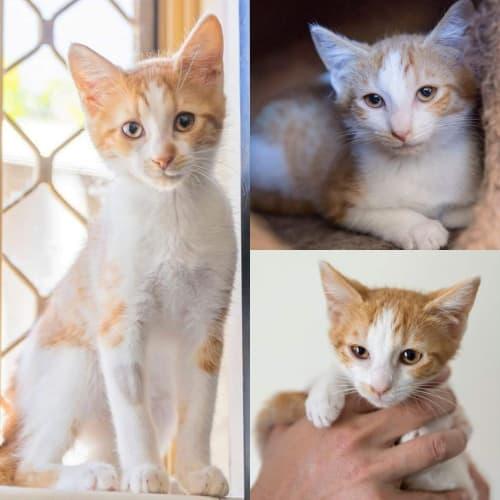 1983/1985/2020 - Evie Mary & Kringle  - Domestic Short Hair Cat