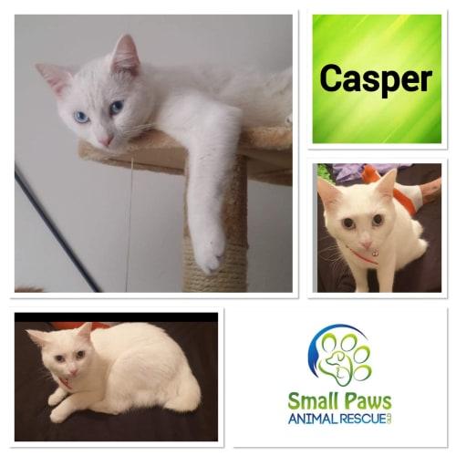 Casper - Manx Cat