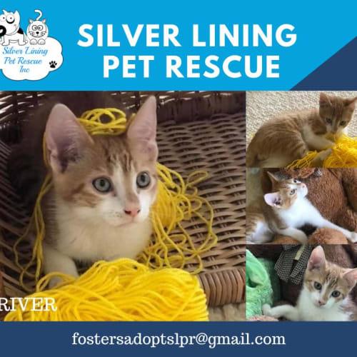 River - Domestic Short Hair Cat