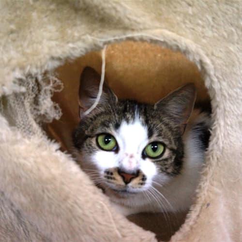 Sunny - Domestic Short Hair Cat