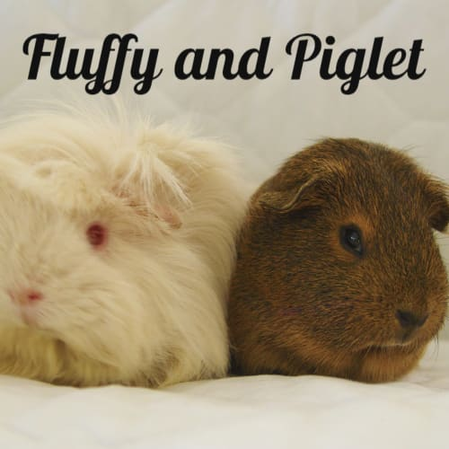 Fluffy and Piglet (indoor home only) - Peruvian x Smooth Hair Guinea Pig
