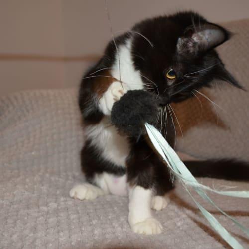 Buttons - Domestic Medium Hair Cat