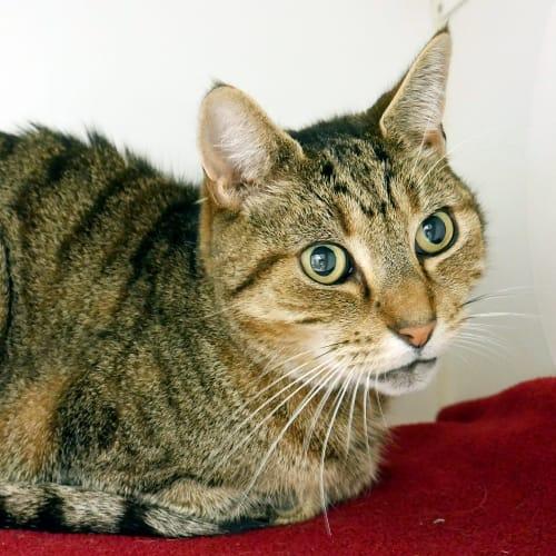 Rusty SUA004773 - Domestic Short Hair Cat