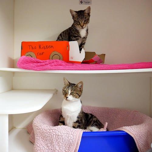 Tamara & Timothy STA004889 & STK004890 - Domestic Short Hair Cat