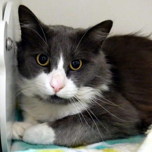 Archie SUA004911 - Domestic Medium Hair Cat