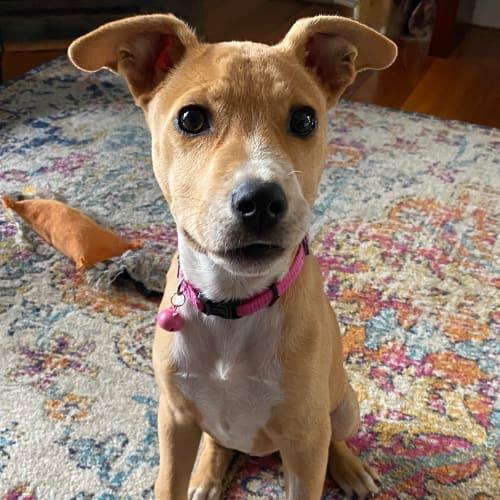 Dot - Kelpie Dog