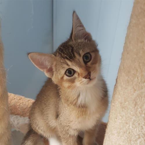 Mickey - Domestic Short Hair Cat
