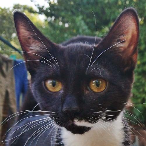 Joe - Domestic Short Hair Cat