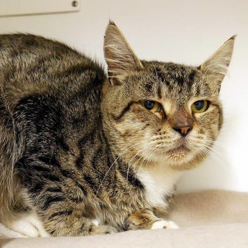 Marky STA004938 - Domestic Short Hair Cat