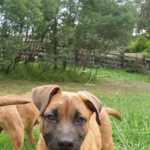 Alaric - German Shepherd Dog
