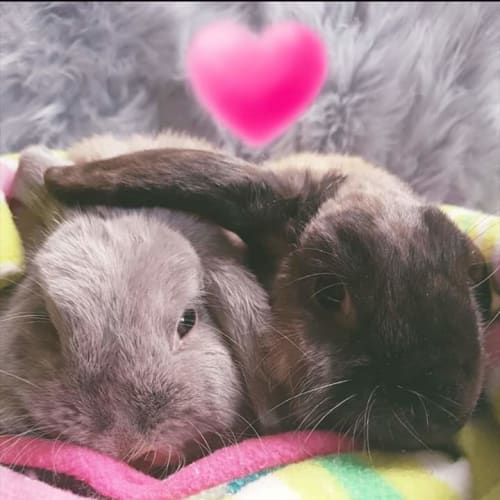 Rhett and Scarlett -  Rabbit