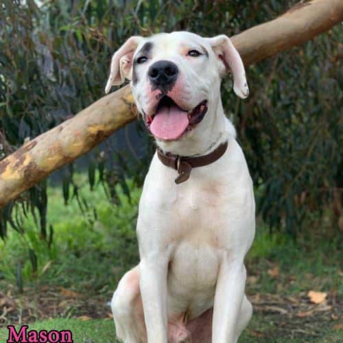 Mason - Mastiff Dog
