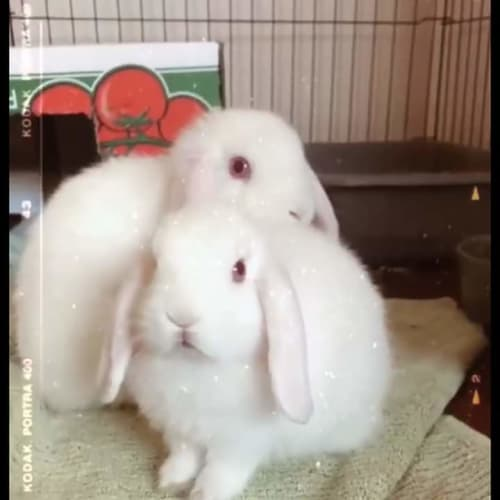Cuddles and Iceceam - Mini Lop Rabbit