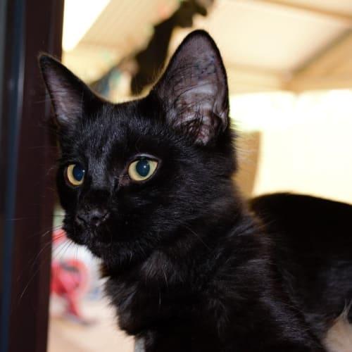 Luci Purr - Domestic Medium Hair Cat