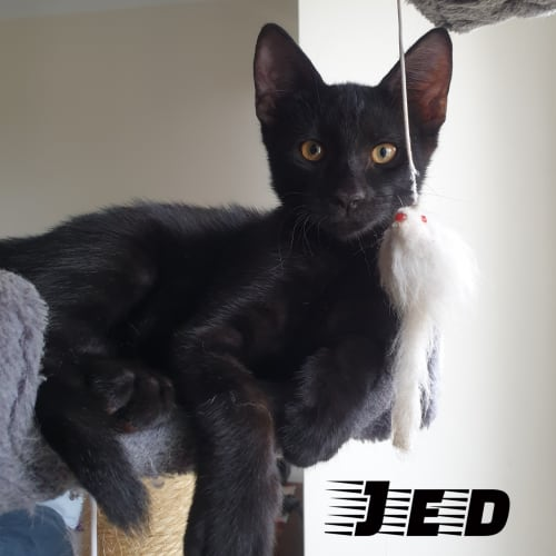 Jed - Domestic Short Hair Cat