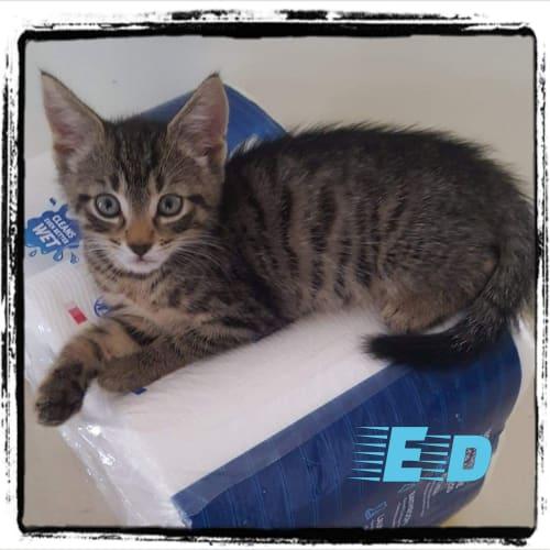 Ed - Domestic Short Hair Cat