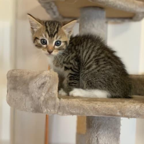 Sage - Domestic Medium Hair Cat