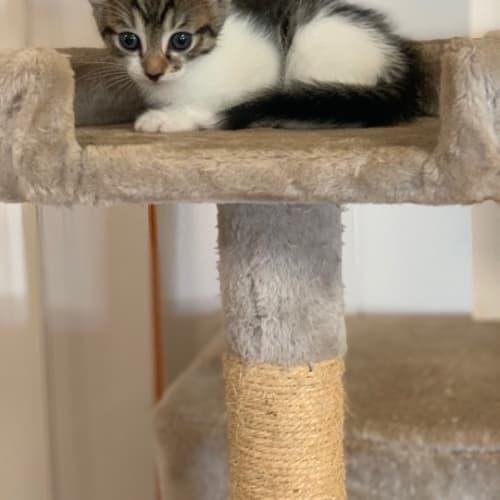 Zane - Domestic Medium Hair Cat