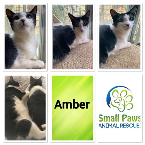 Amber - Domestic Short Hair Cat