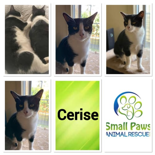 Cerise  - Domestic Short Hair Cat