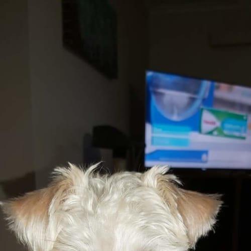 Ollie - Maltese Dog