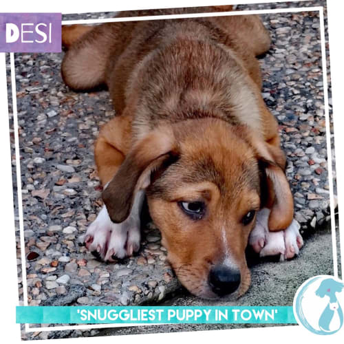 Desi - Border Collie Dog