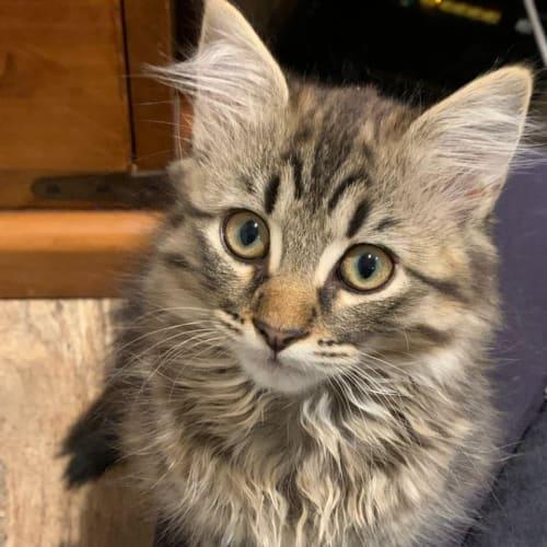 Cormac (Located in Altona Meadows) - Domestic Medium Hair Cat