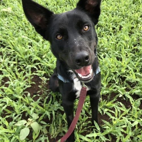 Brock - Kelpie Dog