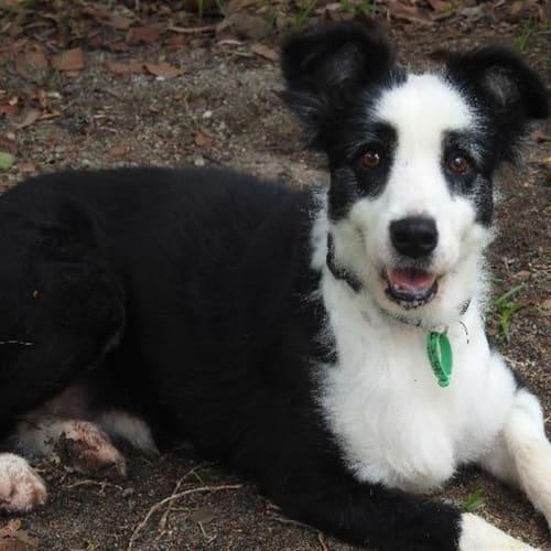 Daisy - Border Collie Dog