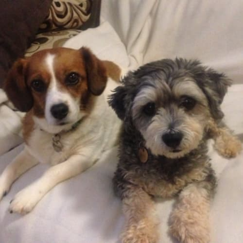 Mercedes and Buddy - Cavalier King Charles Spaniel x Jack Russell Terrier x Maltese Dog