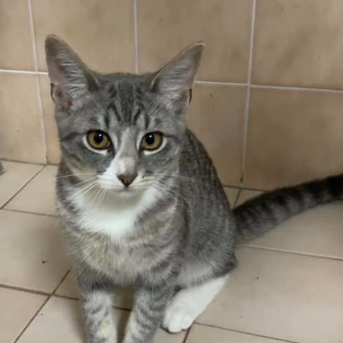 Polly - Domestic Short Hair Cat