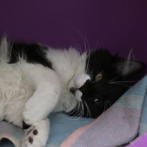 Posy 932532 - Domestic Medium Hair Cat