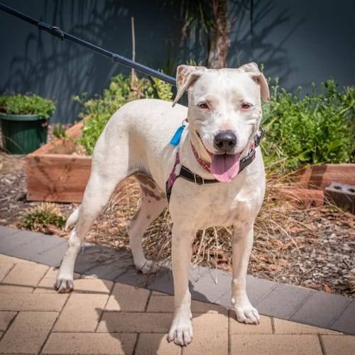 Tax - Heeler X x Staffordshire Bull Terrier X Dog