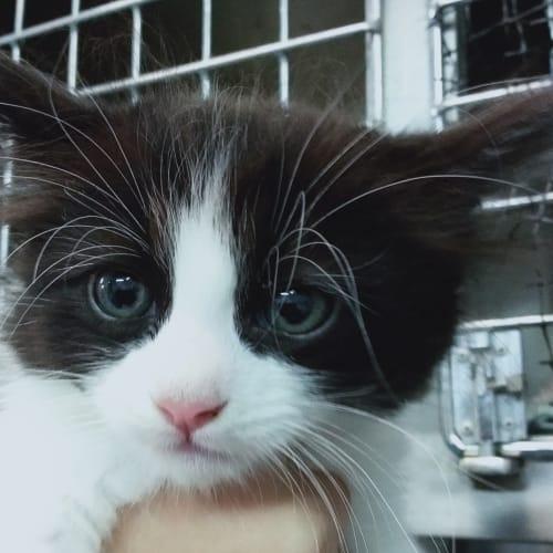 Waffles - Domestic Medium Hair Cat