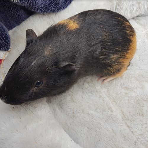 Dax (Lab Release) -  Guinea Pig