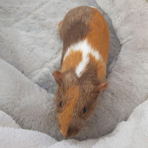 Erin (Lab Release) -  Guinea Pig