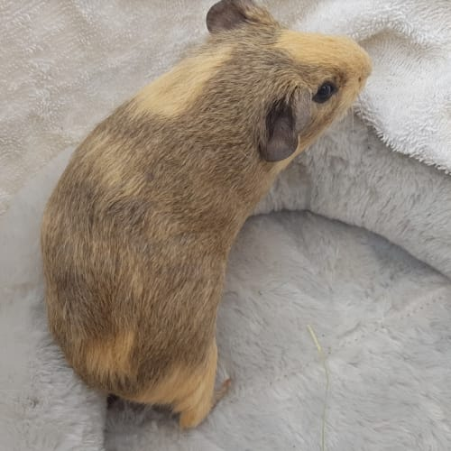 Candace (Lab Release) -  Guinea Pig