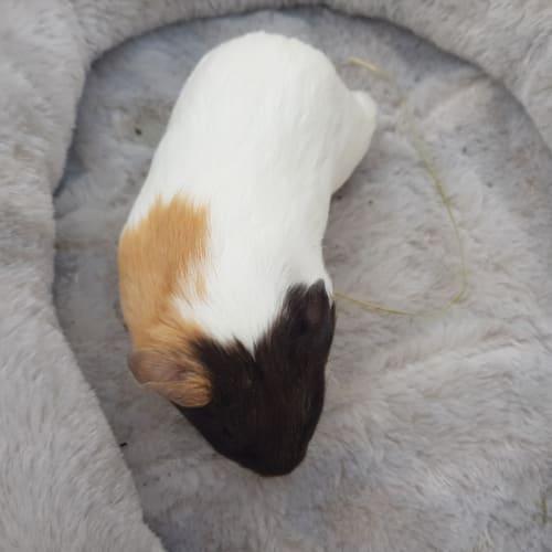 Agnes (Lab Release) -  Guinea Pig