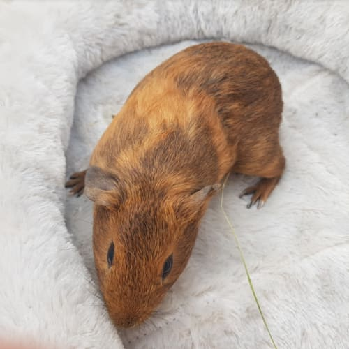 Zyra (Lab Release) -  Guinea Pig