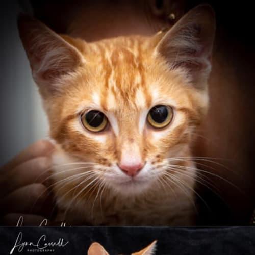 2549 – Joey - Domestic Short Hair Cat