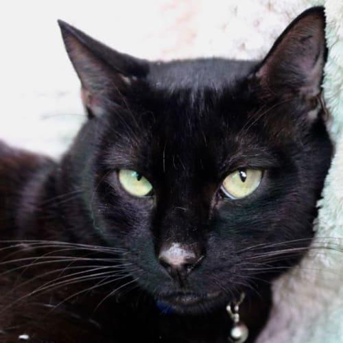 2163 – Sirius - Domestic Short Hair Cat