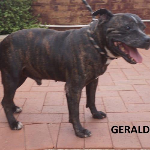 Gerald - Staffordshire Bull Terrier Dog