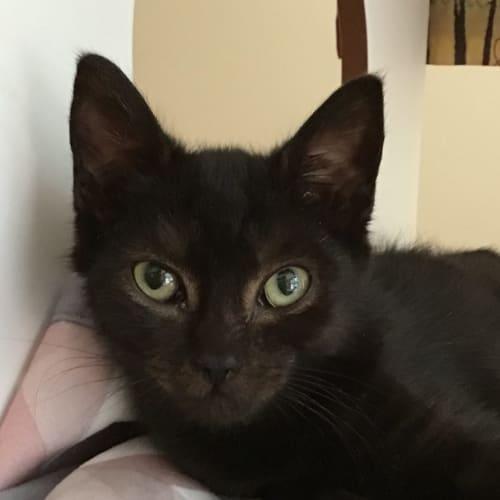 Caruso - Domestic Short Hair Cat